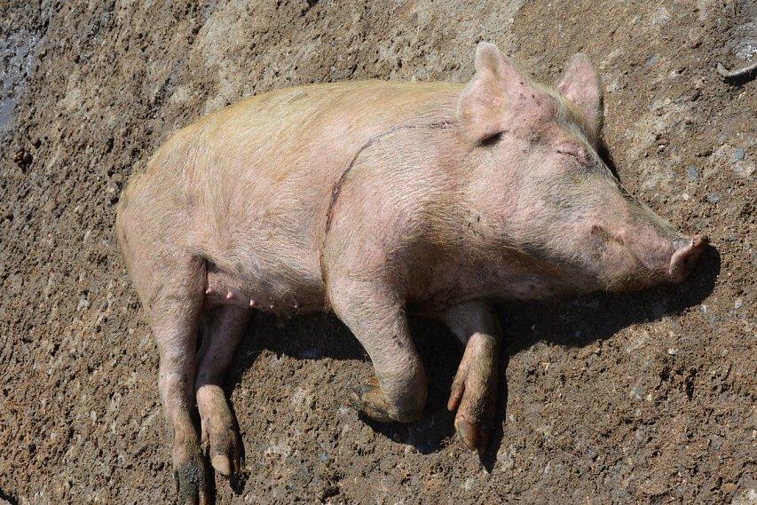 ВБелгородской области отыскали брошенные влесу трупы больных свиней